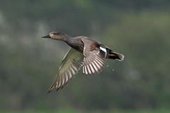 gadwall (DODO 1959) Tags: wildlife gadwall outdoor avian birds duck fauna flight male drake olympus omdem1mk2 300mmf4 micro43 x14 wales carmarthenshire llanelli wwt waterfowl