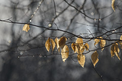(amy20079) Tags: leaves brownleaves winter droplets drops branches trees moody hanging nikond5100 maine newengland beechtreeleaves sparkle glisten light