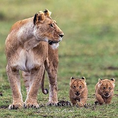 Lions, lion cubs, Photo by @thebigcatpeople (SOVS43) Tags: lions lioncubs photobythebigcatpeople