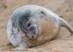 Happy Seal (ian._harris) Tags: d750 sigma 500mm horsey seal bech beach december norfolk nikon sand nature wildlife animals naturephotography natur coast life flickr cute outside naturaleza