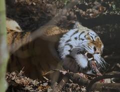 Yorkshire Wildlife Park...    10.12.2018 179 (Andrew Burling (SnapAndy1512)) Tags: yorkshirewildlifepark10122018 yorkshirewildlifepark yorkshire amurtiger tiger bigcats animals zoo
