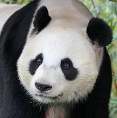 giant panda Ouwehands 094A0058 (j.a.kok) Tags: animal bear beer bamboebeer bamboobear panda giantpanda grotepanda china asia azie mammal zoogdier dier ouwehands