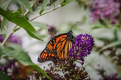 In A Butterfly World (prsavagec) Tags: butterfly insect garden flower flowers butterflies summer august outdoors backyard orange