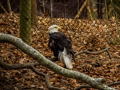 """If I were an animal, I'd be an eagle."" -Jamie Foxx .  Me too, Jamie, but like a mostly lazy eagle. Like, I'm capable of soaring to great heights but also I really like to take naps.  .  Tags: #Eagles #birds #birdwatching #animallover #animals #inspiring (jamessmithsonphotography) Tags: discover worldisgreat explore nature bevisuallyinspired naturephotography eagles learning sorta birds inspiring neverstopexploring jamessmithsonphotography birdwatching adventure animallover awesomeearth museum digitalphotography beautifulday vlm optoutside earthpix animals"