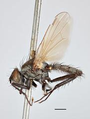 Musca floralis Fallén, 1824 (Biological Museum, Lund University: Entomology) Tags: diptera anthomyiidae musca floralis delia mzlutype00500 taxonomy:binomial=muscafloralis fallén