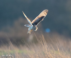 Short eared owl (johnthistle) Tags: owl hovering hunting flying field grass canon shortearedowl 7dmkii 500mm ngc