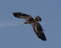 Eagle (Dr Clontz) Tags: baldeagle eagle birdofprey bird raptor