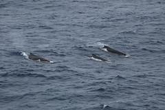 IMG_0342 (y.awanohara) Tags: humpbacks humpbackwhales whales whale southgeorgia scotiasea january2019 wildlife cetacean