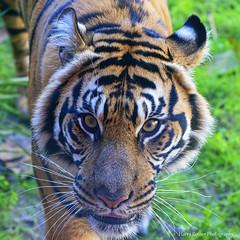A Close-up of Sohne (Harry Rother) Tags: animal mammal tiger sumatran bigcat disney endangered