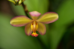 The Butterfly- Orchid - CBG Show 2019 (James J. Novotny) Tags: d750 nikon botanical chicagobotanicalgardens chicagobotanicalgarden flowers flower gardens garden greenhouse chicago conservatory orchid orchids unlimitedphotos unlimiedphotos