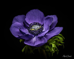 Blue anemone (Magda Banach) Tags: canon canon80d sigma150mmf28apomacrodghsm anemone blackbackground bluehour colors flora flower green macro nature plants