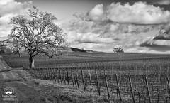 Winter Vineyard (allentimothy1947) Tags: blankroad sonomacounty wine bare clouds grass landscape oak single sky tree vines vineyards sebastopol storm support stormy california bw