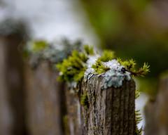I little snow, a liitle moss, (dsgetch) Tags: snow winter bokeh bokehlicious depthoffield dof mybackyard cascadia pacificnorthwest pnw pnwlife pnwwonderland oregon willamettevalley lanecounty macro cedarfence cedar moss eugeneoregon