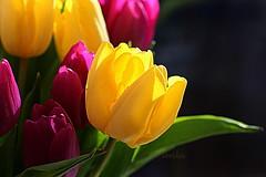 Tulips (abrideu) Tags: abrideu canoneos100d macro tulip flower flowers depthoffield bright bokeh bouquet ngc npc