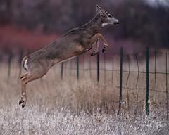 Buck Jumping Fence (dcstep) Tags: dsc2364dxo jumping fence jumpingfence deer buck whitetaildeer whitetailbuck cherrycreekstatepark colorado usa greenwoodvillage allrightsreserved copyright2019davidcstephens dxophotolab221