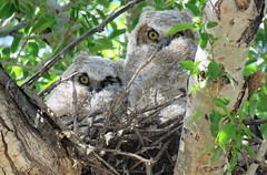 Two Hoots (Patricia Henschen) Tags: greathornedowl owl greathorned bird raptor young stanleyroad alamosa colorado backroads rural countryside roadside
