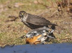 Merlin and Varied Thrush, Agassiz BC
