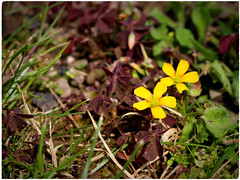 Purple-leaved Yellow-sorrel (Julie (thanks for 8 million views)) Tags: garden lowpov 100flowers2018 yellow canoneos100d flower flora irish ireland wexford purpleleavedyellowsorrel oxaliscorniculatavaratropurpurea
