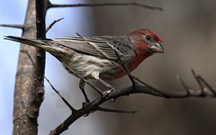 Red for Valentine's! (Randy E. Crisp) Tags: randyecrisp randycrisp recrisp photography canon100400mmvii canon7dmkii canon14viiiextender paristexas brush sticks stump winter centralflyway male redhousefinch