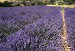 lavender (playapic) Tags: lavender purple field summer provence france