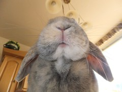 Mouf! (eveliensbunnypics) Tags: bunny rabbit lop lopeared polly indoor inside house face closeup mouf mouth chin chinnie dewlap lips pink