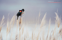 Red-winged Blackbird (Fly to Water) Tags: redwinged blackbird red winged marsh wetland wetlands wild wildlife nature outdoors bird photography avian agelaius phoeniceus professional nikon d850 600mm f4 fl