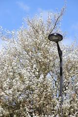 A fleur de réverbère (Tonton Gilles) Tags: alençon normandie réverbère lampadaire arbres rue de bretagne fleurs ciel bleu graphisme détail urbain