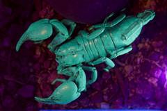 Fluorescing Scorpion (aaronrhawkins) Tags: scorpion fluorescence fluoresce glow uv blacklight green display nature claws butterflyexhibit thanksgivingpoint lehi utah aaronhawkins