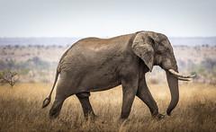 Elephant walking (Sheldrickfalls) Tags: elephant elephantbull olifant satara sataracamp krugernationalpark kruger krugerpark mpumalanga southafrica
