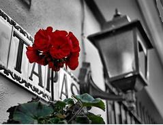Geranio rojo, sobre fondo en blanco y negro (Rabadán Fotho) Tags: flor geranio colorselectivo españa spain flowers street calle canon ciudad pueblos