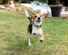 11 || 52 (cathy sly) Tags: baker march2019 52weeksfordogs beagle play