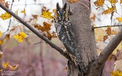 Long-eared Owl (salmoteb@rogers.com) Tags: bird wild outdoor nature wildlife longeared owl ontario canada nikon animal perch park