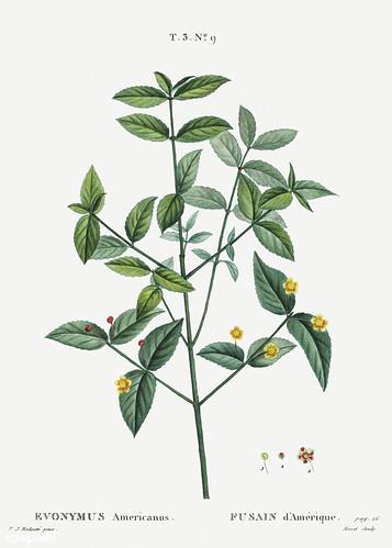 American strawberry (Euonymus americanus) bush illustration from
