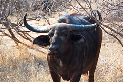 I'm watching you (shanahands2) Tags: buffalo synceruscaffer thornybush soutafrica wild bush d750 fx nikon