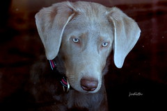 She is your friend, your partner, your defender, your dog. (Judecat (ready for springtime)) Tags: dog canine puppy labradorretriever silverlabradorretriever pearl
