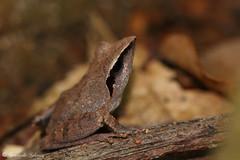 Pseudophilautus cuspis (Fernando_Iglesias) Tags: sri lanka srilanka ceylon frogs amphibians pseudophilautus fejervarja duttaphrynus toads polypedates