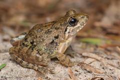 Fejervarya limnocharis (Fernando_Iglesias) Tags: sri lanka srilanka ceylon frogs amphibians pseudophilautus fejervarja duttaphrynus toads polypedates