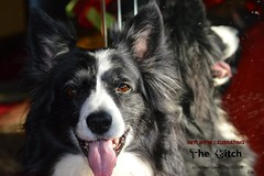 Celebrating The Bitch (ASHA THE BORDER COLLiE) Tags: inspirational dog quote international womens day 2019 border collie ashathestarofcountydown connie kells county down photography