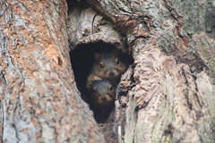 210/365/3862 (January 7, 2019) - Fox Squirrels in Ann Arbor at the University of Michigan - January 7th, 2019 (cseeman) Tags: gobluesquirrels squirrels foxsquirrels easternfoxsquirrels michiganfoxsquirrels universityofmichiganfoxsquirrels annarbor michigan animal campus universityofmichigan umsquirrels01072019 winter eating peanuts acorns januaryumsquirrel cavity cavitynest squirrelcavitynest 2019project365coreys yearelevenproject365coreys project365 p365cs012019 356project2019 parenthood motherhood momsquirrel momandjuvenilesquirrel