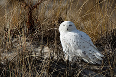 Sunny Snowy (aliciaambers) Tags: wildlife dune beach bird nature owl snowyowl jonesbeach