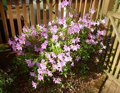 Azalea time (Jer*ry) Tags: flower shrub backyard home spring inbloom purple pink