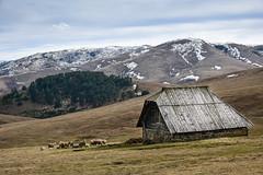 Zlatibor (borisjer) Tags: zlatibor mountan sheeps snow cottage field nature serbia