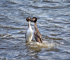 🇬🇧 Great crested grebes doing the weed dance (vickyouten) Tags: greatcrestedgrebe greatcrestedgrebes grebes nature naturephotography wildlife britishwildlife wildlifephotography nikon nikond7200 nikonphotography nikkor55300mm carrmilldam sthelens uk vickyouten
