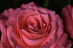 DSC_2775 (PeaTJay) Tags: nikond750 sigma reading lowerearley berkshire macro micro closeups gardens indoors nature flora fauna plants flowers rose roses rosebuds