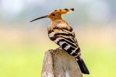 Hoopoe ... ... (kapil.bhagwat84) Tags: birding birds birdwatching birder birdphotography bird birdbrilliance beautifulbird yourbestbird birdlover canonphotographer photographerofindia photographer canonphotography wildlifephotography photographyeveryday photography canon7dmarkii canon hoopoe
