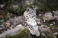 Snow leopard on a rock (Cloudtail the Snow Leopard) Tags: schneeleopard tier animal mammal säugetier katze cat feline irbis snow leopard big gros raub beutegreifer panthera uncia snep zoo stadtgarten karlsruhe