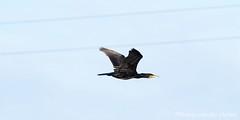 Phalacrocorax carbo (Hetwie) Tags: aalscholver greatcormorant vogels birds nature phalacrocoraxcarbo brouwhuis helmond noordbrabant nederland nl