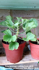 Pelargonium cutting from 2018 just repotted on balcony 20th March 2019 (D@viD_2.011) Tags: pelargonium cutting from 2018 just repotted balcony 20th march 2019
