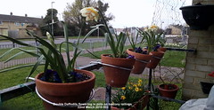 Double Daffodils flowering in pots on balcony railings 22nd March 2019 002 (D@viD_2.011) Tags: double daffodils flowering pots balcony railings 22nd march 2019