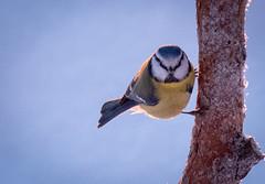 Side Branching (MrBlackSun) Tags: tit forest winter finland frozen frozenforest nikon d850 kuusamo birds bird birdlover kuusamonaturephotography nature photography naturephotography lapland